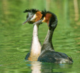 Great Crested Grebes Courting