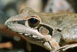 Broad Palmed Frog at Sundown NP