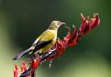Bellbird Feeding on Flax