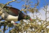 Wood Pigeon - Kereru feeding on buds