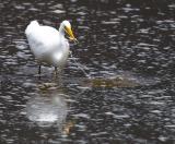 Gotcha! - White Heron