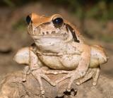 Frog - Wilcox's frog