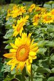 Sunflower -2