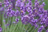 Lavender _2