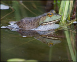1791 Bullfrog.jpg