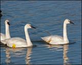 0016 Trumpeter Swans.jpg