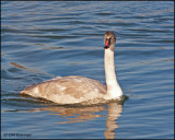 0017 Trumpeter Swan immature.jpg
