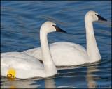 0018 Trumpeter Swans.jpg