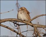 0088 White-throated Sparrow.jpg