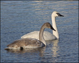 0336 Trumpeter Swans adult and immature.jpg