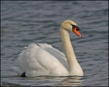 0467 Mute Swan.jpg
