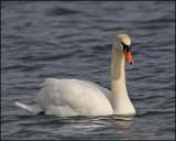 0468 Mute Swan.jpg