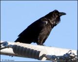 0938 Common Raven.jpg