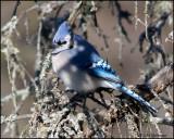 1021 Blue Jay.jpg