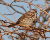 0681 Song Sparrow.jpg