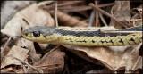 1112 Garter Snake.jpg