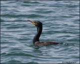 1132 Double-crested Cormorant.jpg