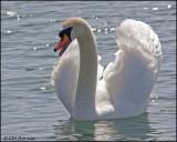 1141 Mute Swan.jpg