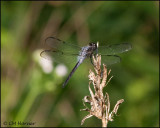 1691 Bar-winged Skimmer male