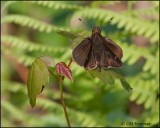1706 probable Clouded Skipper male