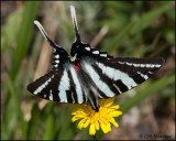1725 Zebra Swallowtail summer form