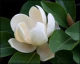 1756 Magnolia.jpg