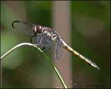 1784 Great Blue Skimmer female.jpg