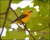 1825 Prothonotary Warbler.jpg