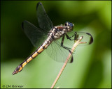 1826 probable Great Blue Skimmer juv female