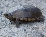 1855 Eastern Mud Turtle