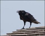 2017 Fish Crow.jpg