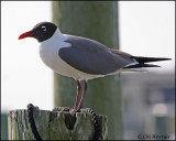 2023 Laughing Gull.jpg