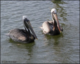 2024 Brown Pelican.jpg