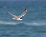 2098 Common Tern.jpg