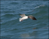 2111 Laughing Gull.jpg