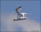 2224 White-tailed Tropicbird.jpg