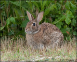 2457 Eastern Cottontail Rabbit.jpg