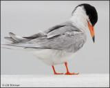 2508 Forster's Tern