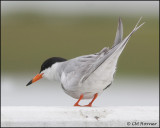 2511 Forster's Tern.jpg