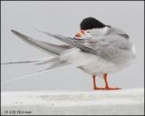 2513 Forster's Tern.jpg