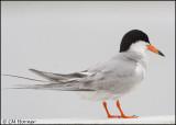 2516 Forster's Tern.jpg