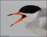 2518 Forster's Tern