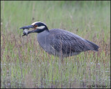 2547 Yellow-crowned Night-Heron trying to eat Northern Diamondback Terrapin