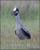 2557 Yellow-crowned Night-Heron trying to eat Northern Diamondback Terrapin
