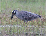 2564 Yellow-crowned Night-Heron.jpg