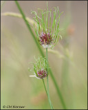 2581 Sedge sp.jpg