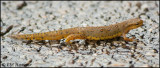 2711 Eastern Newt aquatic female.jpg