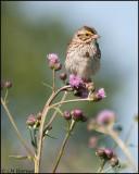 3055 Savannah Sparrow.jpg