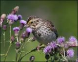 3059 Savannah Sparrow.jpg
