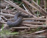 3183 Northern Water Snake.jpg
